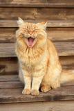 Chat baîllant Photographie stock libre de droits