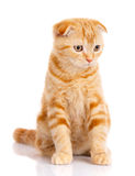 Chat, beau chat, chat de race, chat pelucheux, chat fier, chaton roux - portrait de chat écossais Photos stock