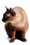 Chat birman Photos stock