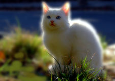 Chat blanc. Photo stock