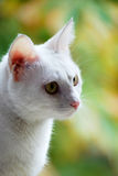 Chat blanc Images libres de droits