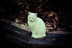 Chat blanc Photos stock