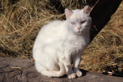 Chat blanc Photographie stock
