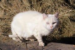 Chat blanc Images libres de droits