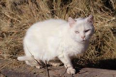 Chat blanc Photo libre de droits