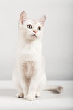 Chat blanc Image stock