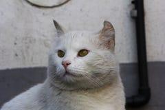 Chat blanc Photos stock
