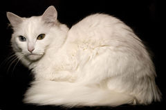 Chat blanc Photo libre de droits
