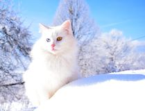 Chat blanc Photo stock
