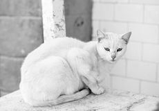 Chat blanc Photo stock