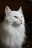 Chat blanc Image libre de droits