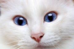 Chat blanc avec des œil bleu Images stock
