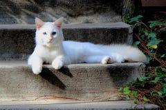 Chat blanc avec des yeux bleus Photo libre de droits