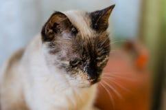 Chat blanc avec des yeux bleus et des taches brunes images stock