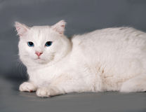 Chat blanc avec des yeux bleus se trouvant sur le gris Image stock
