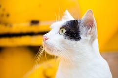 Chat blanc avec la marque noire de couleur sur le visage avec le fond jaune Photos libres de droits