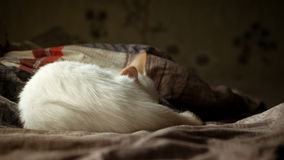 Chat blanc avec les oreilles rouges dormant sur le divan Photographie stock libre de droits
