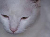 Chat blanc avec les yeux verts image stock
