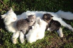 Chat blanc avec quatre chatons deux chatons et blancs deux gris chats photo stock