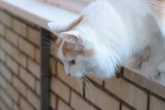 Chat blanc beige observant du rebord de fenêtre photographie stock