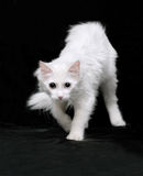 Chat blanc d'angora Photos libres de droits