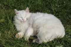 Chat blanc dans l'herbe photos stock