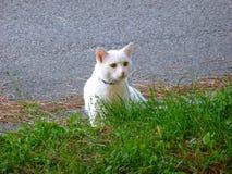 Chat blanc dans l'herbe Photo stock