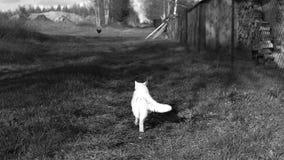 Chat blanc dans son territoire images libres de droits