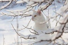 Chat blanc de Maine Coon dans la neige sauvage Images libres de droits