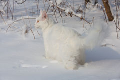 Chat blanc de Maine Coon dans la neige sauvage Photo stock