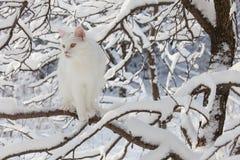Chat blanc de Maine Coon dans la neige sauvage Photos libres de droits