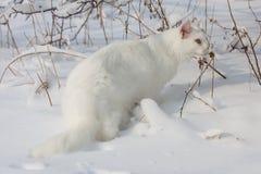 Chat blanc de Maine Coon dans la neige sauvage Image stock