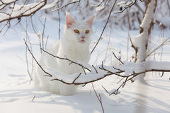 Chat blanc de Maine Coon dans la neige sauvage Photos stock