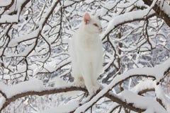 Chat blanc de Maine Coon dans la neige sauvage Photographie stock libre de droits