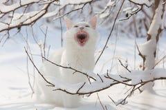 Chat blanc de Maine Coon dans la neige sauvage Image libre de droits