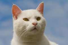 Chat blanc de regarder Image stock