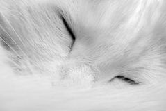 Chat blanc de sommeil Images libres de droits