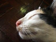 Chat blanc dormant avec le sourire sur le visage du plancher en bois photo libre de droits