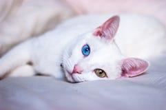 Chat blanc essayant de dormir, différents yeux colorés, oreilles roses et nez Photographie stock