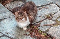 Chat blanc et gris rouge se reposant sur la rue en pierre et nous regardant photographie stock libre de droits