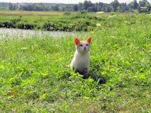 Chat blanc et orange mignon dans le domaine Photos stock