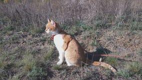 Chat blanc-et-rouge mignon dans un collier rouge dans l'herbe clips vidéos