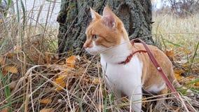 Chat blanc-et-rouge mignon dans un collier rouge dans l'herbe banque de vidéos