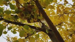 Chat blanc-et-rouge mignon dans un collier rouge sur l'arbre d'automne banque de vidéos