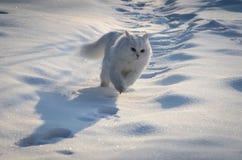 Chat blanc fonctionnant dans la neige image stock