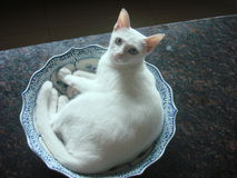 Chat blanc futé Photographie stock