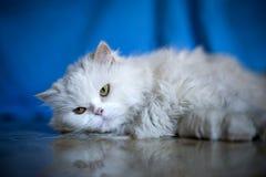 Chat blanc élégant Photo libre de droits