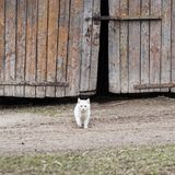Chat blanc marchant vers l'appareil-photo Images stock