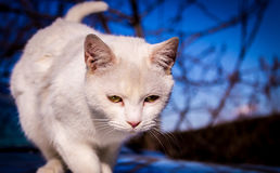 Chat blanc marchant vers l'appareil-photo Images libres de droits