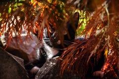 Chat blanc noir chassant sous l'arbre d'acer dans le jardin images libres de droits